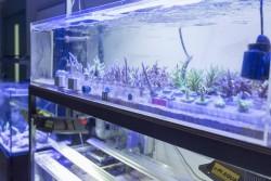 玉川学園|SSHサンゴ研究は、サンゴを水槽で育成、海に戻す研究を実施